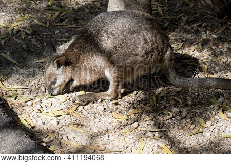 The Tammar Wallaby Is Grey And Light Brown With White Face Stripes