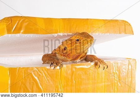 Australian Bearded Dragon (agama) Looks Out Of The Post Parcel Box (packaging). Concept Of Exotic An