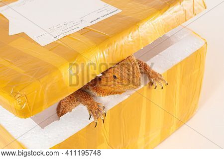 Australian Bearded Dragon (agama) Inside The Post Parcel (packaging) With Commercial Invoice. Concep
