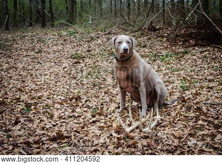 Shed hunting with a Labrador retriever finding deer antlers. Fun sport activity of finding dropped b