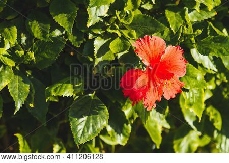 Blooming Hibiscus. Bright Red Flower With Green Leaves. Tropical Plant In Warm Climate.
