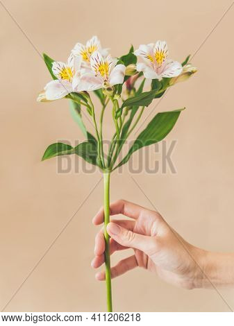 Woman Holds White Alstroemeria Flower. Fresh Blooming Plant On Beige Background. Fragile Spring Flow