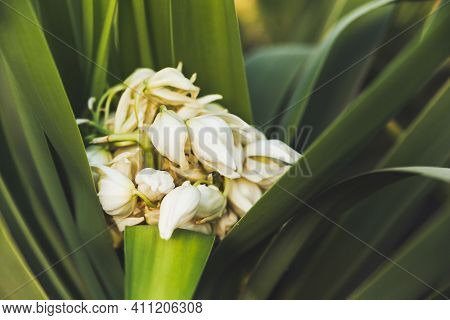 Blooming Yucca. White Flowers Inside Green Foliage. Green Leaves Of Tropical Tree.