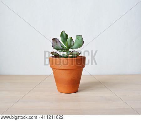Crassula Arborescens House Plant In Terracotta Pot On Wooden Desk Over White