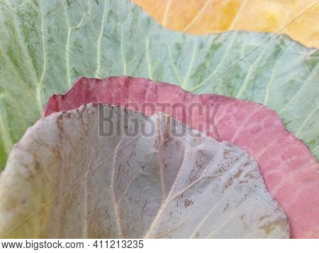Low Angle View Of Multi Colored Cabbage Leaves In Autumn Season, Close Up Of Four Different Colored