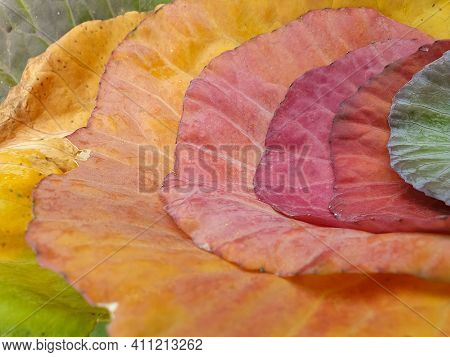 Low Angle Shot Of Multi Colored Cabbage Leaves In Autumn Season, Close Up Of Seven Different Colored