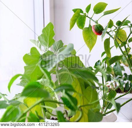 Home Garden Growing Pepper Bell Herb In Flower Pot , Macro Shot, Vegetable Garden On Windowsill, Sel