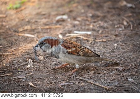 The House Sparrow, Passer Domesticus, Sitting On A Spring Lawn With Feathers In Its Beak. Sparrow We
