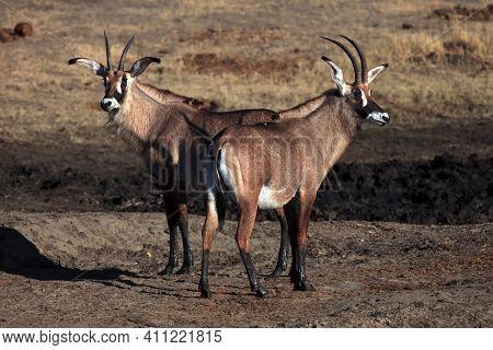 Two Roan Antelopes (hippotragus Equinus) Near Waterholes.a Pair Of Very Rare Antelopes Near A Muddy