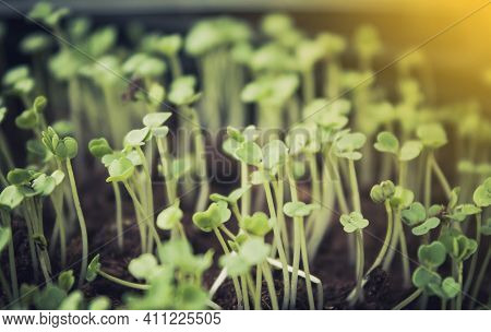 Seeds Sprout From The Ground. Young Seeds Are Drawn Towards The Light. Germination Of Seedlings. Gre