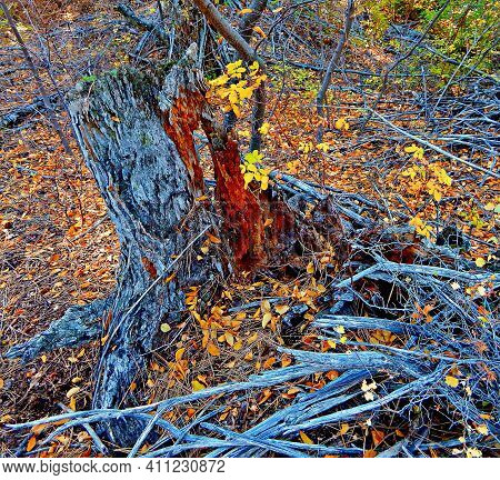 Autumn Stump Scene - A Rotting Stump In October Along Whychus Creek - South Of Sisters, Or