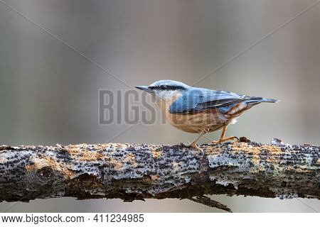 Eurasian Nuthatch Sitta Europaea Sitting On A Branch