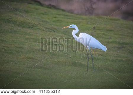 White Egret, Ardea Alba, Egret Standing On The Grass