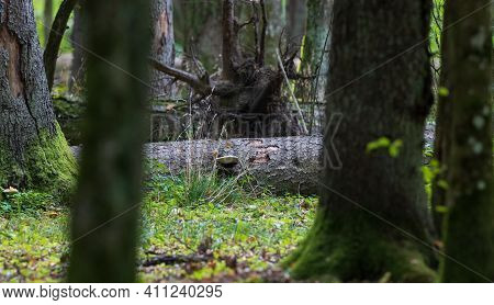 Old Broken Spruce Log Lying In Background