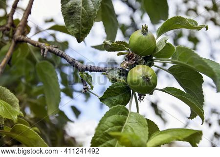 Apple Branch With Unripe Fruits (ovaries). Small Green Apples On Tree. Concept Of Apple Growth On Br