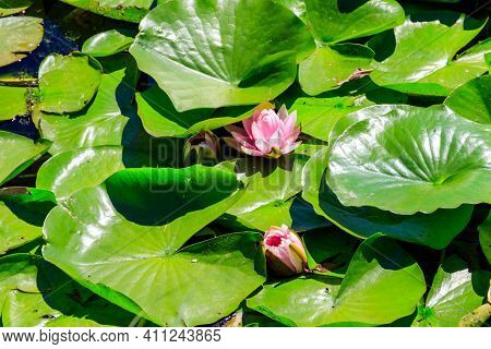 Pink Lotus Flowers (nelumbo Nucifera) In A Pond
