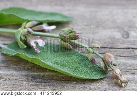 Medicinal Herb Salvia Officinalis Isolated On Wooden Table With Blurred Blossoms. The Plant Is Used