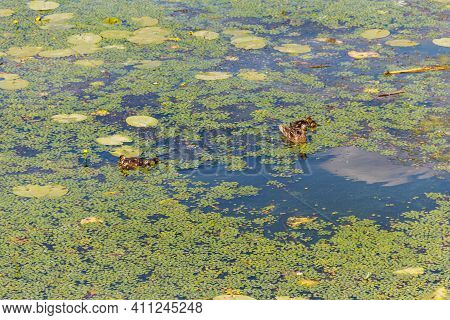 Wild Duck With Little Ducklings Swimming In A Lake Covered With Green Duckweed