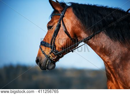 Portrait Of A Beautiful Bay Strong Horse With A Dark Mane And Bridle On The Muzzle, Which Stands Aga