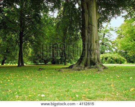 Old Big Tree