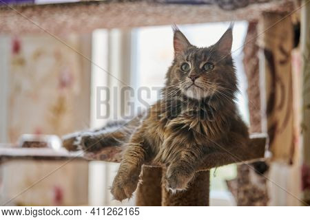 Maine Coon Tortoiseshell Cat Sitting On Cat House. Adult Female Maine Coon Purebred Cat. Tortie Long