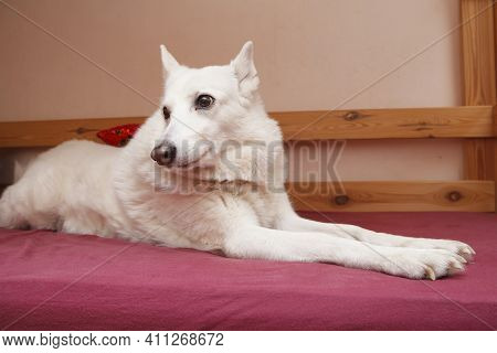 White West Siberian Laika. Funny Dog Meme Lies On The Bed And Smiles.