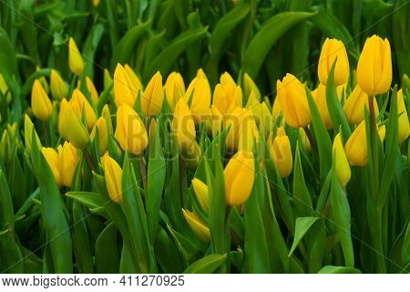 Many Yellow Tulips In The Flower Garden