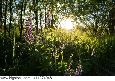 Beautiful Blooming Lupinus Or Lupins Among The Trees, In The Sun. Perennial Flowers Of Bright Purple