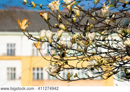 Blossoming Magnolia On A Sunny Day. Beautiful Nature Background In Springtime. White Flowers On The