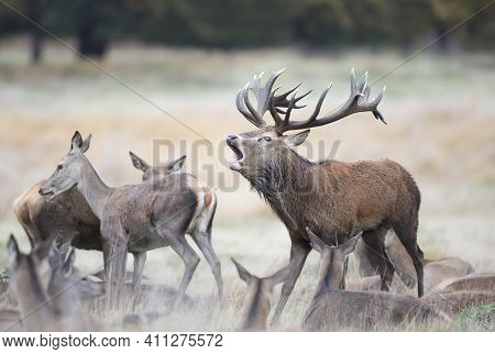 Close Up Of A Red Deer Stag Calling Surrounded By A Group Of Hinds During Rutting Season In Autumn.