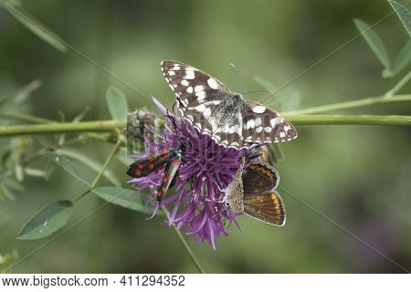 A Nice Picture Of Common Blue Butterfly, Marbled White And Burnet Spec. , An Intresting Photo