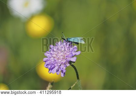The Green Forester (adscita Statices) Can Be Very Common In Its Preferred Habitats , An Intresting P