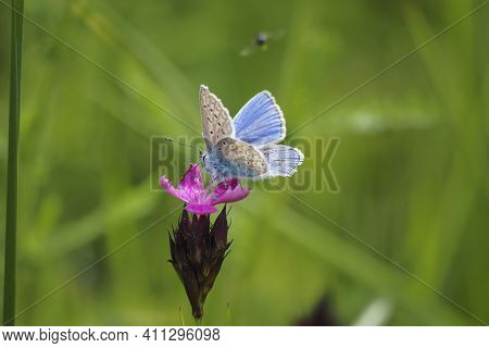 The Common Blue Butterfly (polyommatus Icarus) Is A Butterfly In The Family Lycaenidae And Subfamily