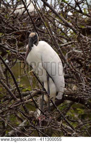 Wood Stork (mycteria Americana) Commonly Seen In The Florida Everglades Standing In A Tree