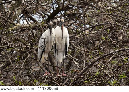 Wood Storks (mycteria Americana) Nesting In The Florida Everglades Habitat
