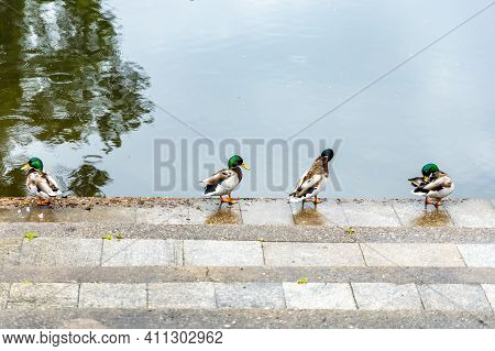 Few Small Ducks Sitting On Concrete Stairs Near Water Surface At Rainy Day