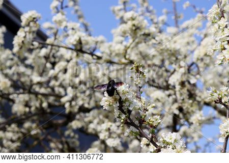 Carpenter Bee Collecting Pollen From White Pear Flowers. Flowering Fruit Tree. Carpenter Bee With Po