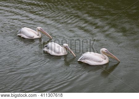 Three Great White Pelicans Are Floating On Green Water In The Drizzling Rain