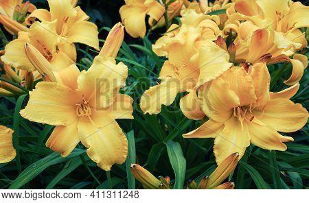 Lemon Day-lily (hemerocallis Lilioasphodelus) Lush Yellow Flowering Plant