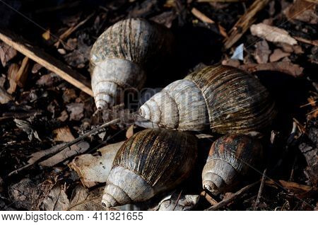 Snail Shell Of A Tropical Snail Usually Grows Only 15 To 20 Cm, Lives Once Seven Years. Thanks To Th