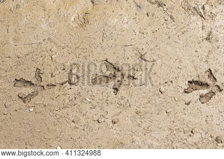 Capercaillie Footprints In The Mud (tetrao Urogallus)
