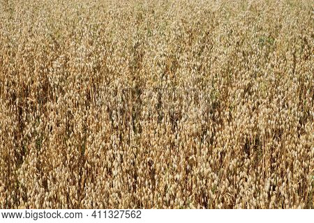 Ripe Oats Ears, Full Frame. Harvest Cereals, Background. Backdrop Of Ripening Ears Of Yellow Cereal