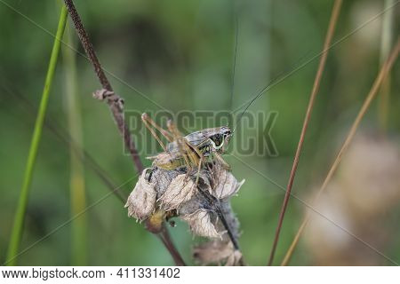 Roesels Bush-cricket, Roeseliana Roeselii (synonym Metrioptera Roeselii) Is A European Bush-cricket,