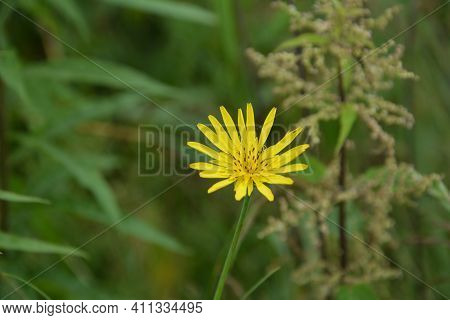 Meadow Salsify Flower(tragopogon Pratensis L.) - Also Known As Meadow Goat\'s-beard. Close-up View O