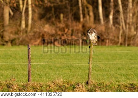 Large Buzzard Bird Of Prey Sits On A Pole At The Edge Of A Ditch
