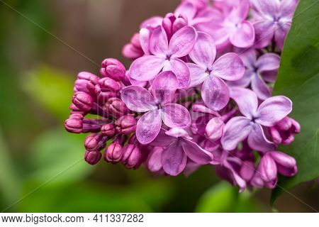 Spring, Beautiful Lilac Grove In The Garden, Flower Color - Lilac, Purple, Close-up