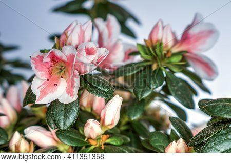 Flower Azalea Rhododendron