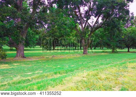 Lines Of  Pecan Trees On A Pecan Orchard In The South