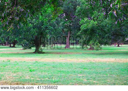 Beautiful Green Pecan Trees On A Pecan Orchard