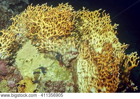 A Block Of Corals, At The Top A Reticulated Fire Coral (millepora Dichotoma). Brown-yellow Coral Wit
